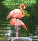Greater Flamingo (Phoenicopterus roseus) at Grand Palladium Resort