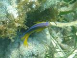 Beaugregory Damselfish - Stegastes leucostictus