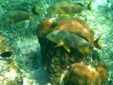 Blue Striped Grunt - Haemulon sciurus & Great Star Coral - Montastraea cavernosa