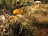 juvenile Threespot Damselfish - Stegastes planifrons over Great Star Coral - Montastraea cavernosa