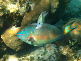 male Stoplight Parrotfish - Sparisoma viride