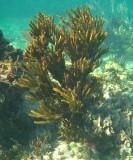 Sea Rod - Plexaura flexuosa