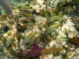 White Grunt - Haemulon plumieri