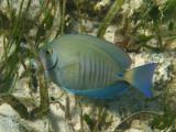 Doctorfish - Acanthurus chirurgus