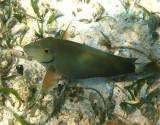 Ocean Surgeonfish - Acanthurus bahianus