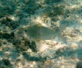 Yellowfin Mojarra - Gerres cinereus