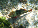 female Stoplight Parrotfish - Sparisoma viride