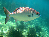 Bermuda Sea Chub - Kyphosus sectatrix