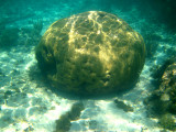 Boulder Brain Coral - Colpophyllia natans
