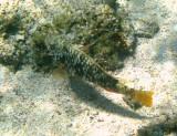 Yellowtail Parrotfish - Sparisoma rubripinne