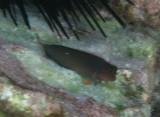 Redlip Blenny - Ophioblennius atlanticus