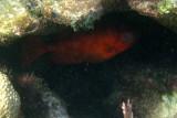 probably a Blackbar Soldierfish - Myripristis jacobus