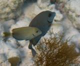 Doctorfish - Acanthurus chirurgus (background)