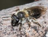 Andrena rufosignata?
