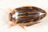 Coptotomus longulus