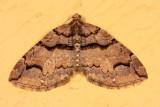 7329-Variable Carpet Moth -- Anticlea vasiliata