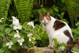 Cat Amongst the Trilliums