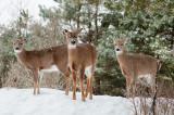 Deer Around Ottawa