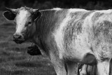 Why are grey cows called blue, and white horses called grey?