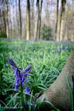 Lone Bluebell