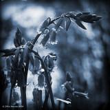 Blue Bluebells
