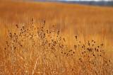 Grasses 7653.jpg