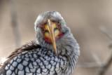Yellow Hornbill pulling faces