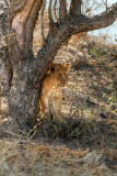 Lions Of Kruger