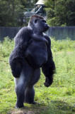 Gorillas of Lympne