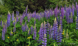 234.3 - Lupines