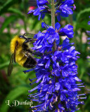Bumble Bee On The Veronica