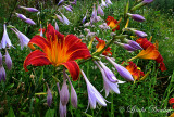 Day Lilies And Hosta
