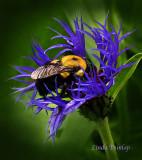 Bachelor Button Bumble Bee