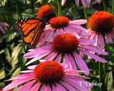Purple Coneflowers And Monarch Butterfly