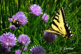 Bee And Butterfly In The Chives
