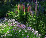 Chives And Lupine