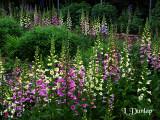 Our Foxglove Garden