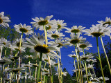 Daisies Reaching For The Light