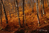 Golden Beechwoods