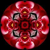 420 Red And White Dahlia Kaleidoscope