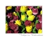 Tulips in Volendam. Holland.