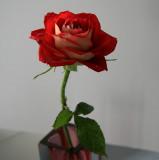 Rose @ Pukekohe