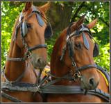 horse tickler