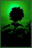 sunflower corona
