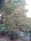 bamboo growing on campus