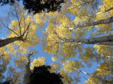 Autumnal aspen, Ouray Colorado