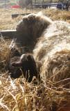 Sheebaa and lamb