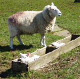 lambs in square troch