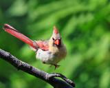 Suzette's jumping Cardinal