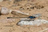 Damselfly (a species of Bluet)
